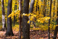Maple Forest 2