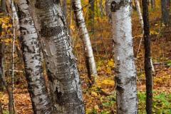 Birch 4