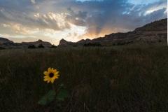 Sunflower_Sunrays