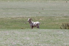 Bighorn Sheep, Sheep Lakes, Rocky Mountain National Park, CO